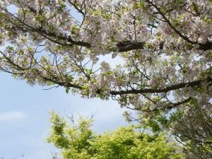 大島桜と楓