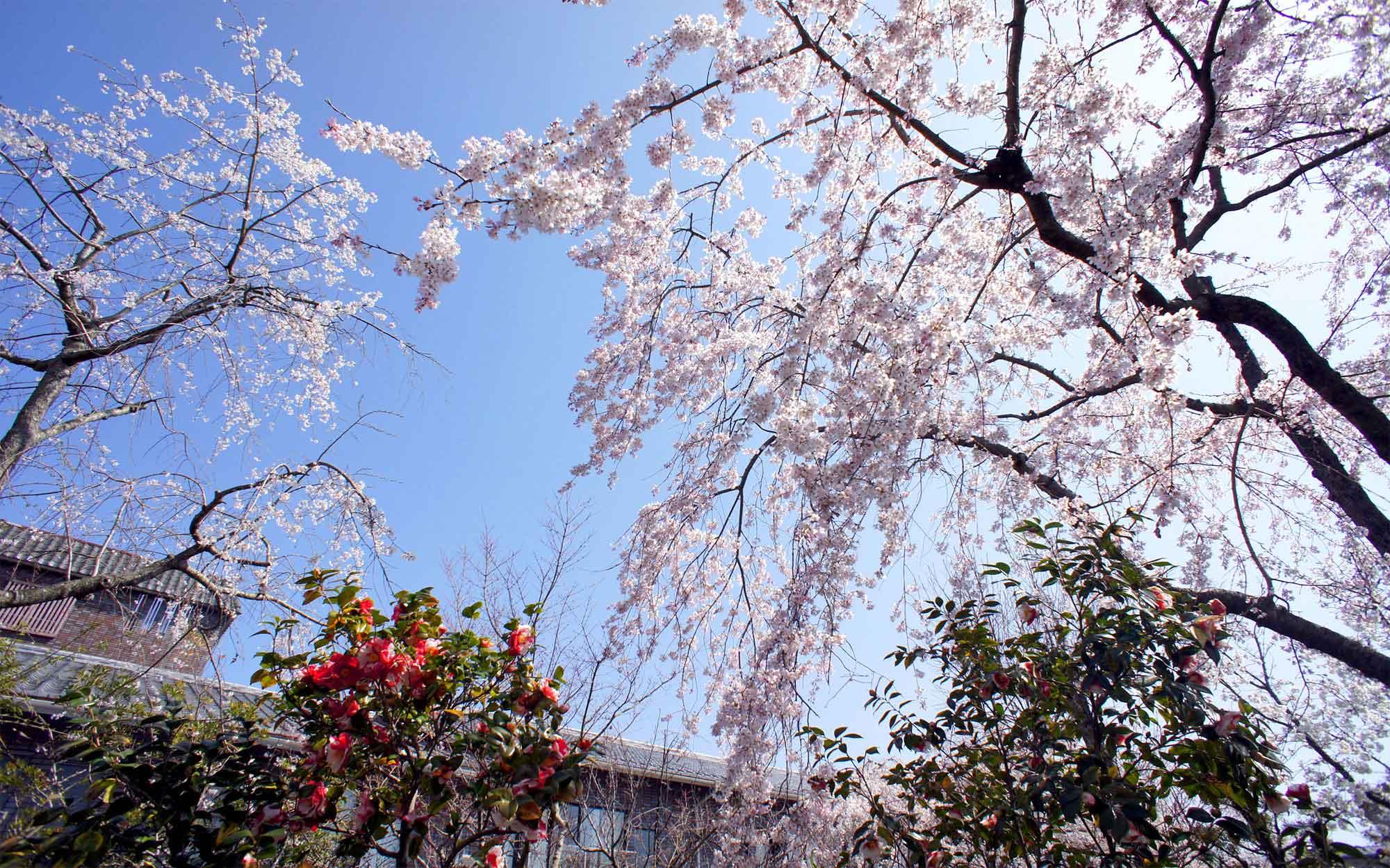 05北門ガーデン桜と椿 - 山口県 萩市|世界遺産[萩城下町]唯一の旅館 萩城三の丸 北門屋敷